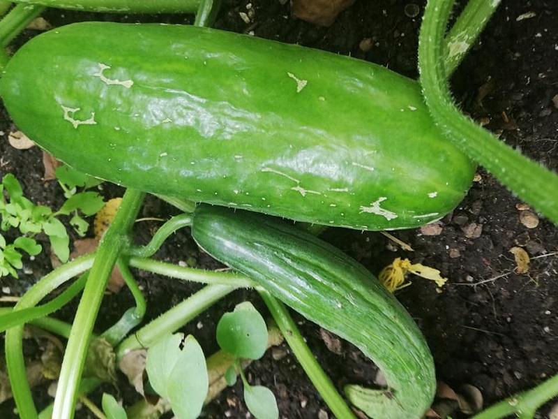 zelen1